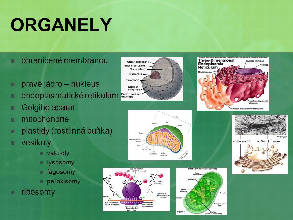 ORGANELY ohraničené membránou pravé jádro – nukleus