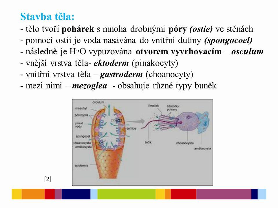 Stavba těla: tělo tvoří pohárek s mnoha drobnými póry (ostie) ve stěnách. pomocí ostií je voda nasávána do vnitřní dutiny (spongocoel)