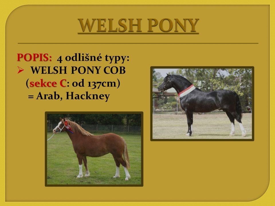 WELSH PONY POPIS: 4 odlišné typy: WELSH PONY COB (sekce C: od 137cm)