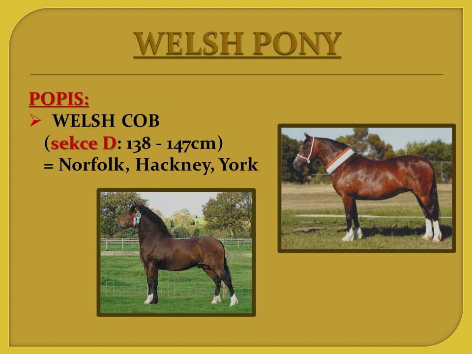 WELSH PONY POPIS: WELSH COB (sekce D: 138 - 147cm)