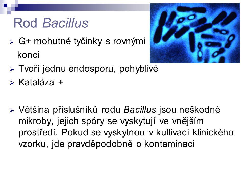 Rod Bacillus G+ mohutné tyčinky s rovnými konci
