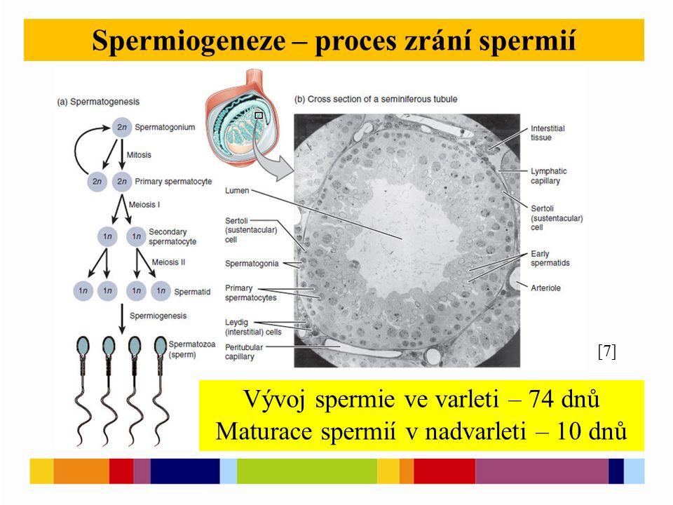 Spermiogeneze – proces zrání spermií