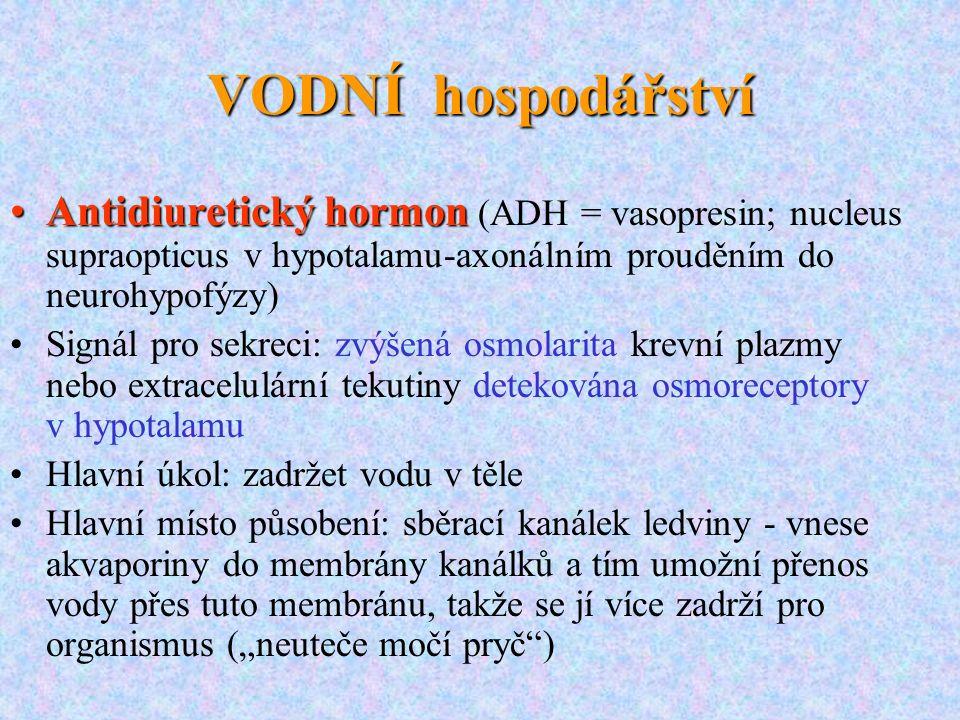 VODNÍ hospodářství Antidiuretický hormon (ADH = vasopresin; nucleus supraopticus v hypotalamu-axonálním prouděním do neurohypofýzy)