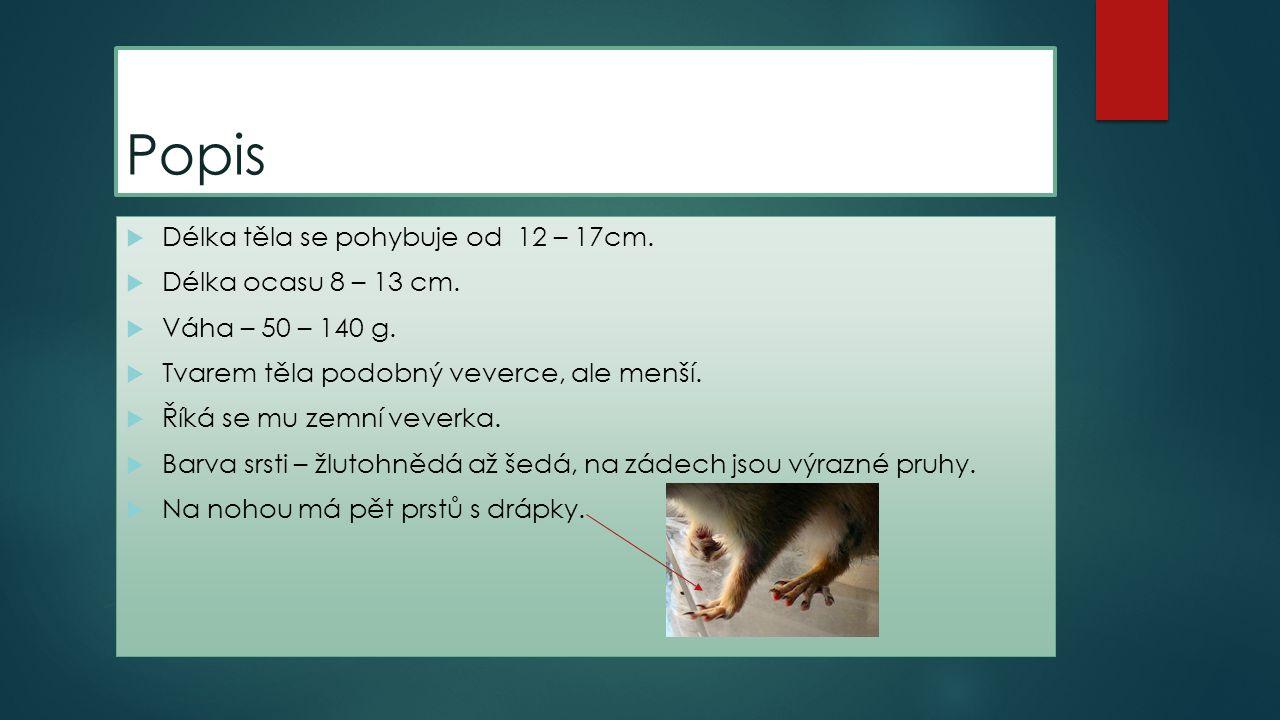 Popis Délka těla se pohybuje od 12 – 17cm. Délka ocasu 8 – 13 cm.