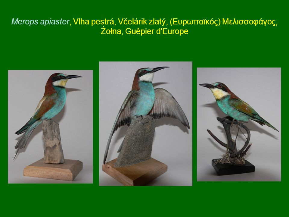 Merops apiaster, Vlha pestrá, Včelárik zlatý, (Ευρωπαϊκός) Μελισσοφάγος, Źołna, Guêpier d Europe