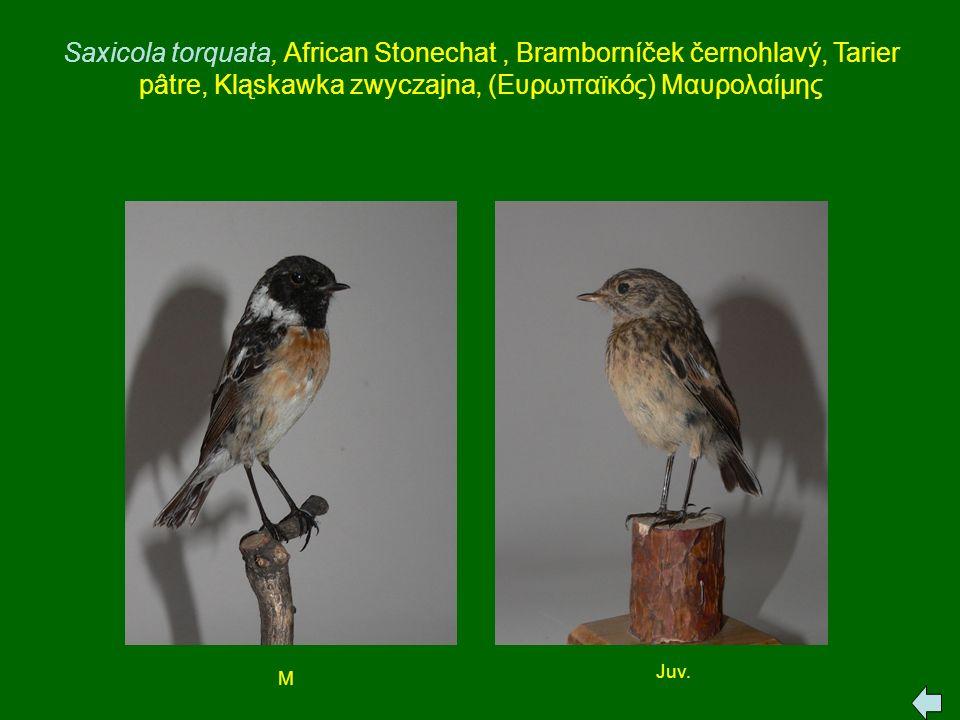 Saxicola torquata, African Stonechat , Bramborníček černohlavý, Tarier pâtre, Kląskawka zwyczajna, (Ευρωπαϊκός) Μαυρολαίμης