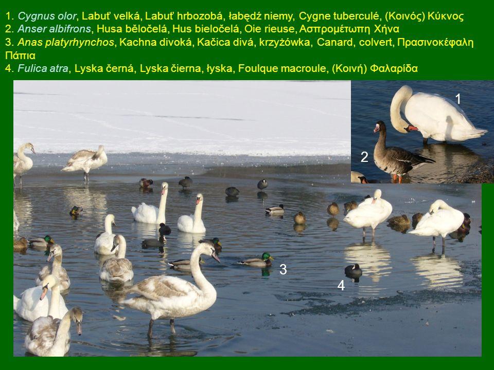 1. Cygnus olor, Labuť velká, Labuť hrbozobá, łabędź niemy, Cygne tuberculé, (Κοινός) Κύκνος