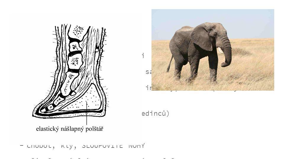 obecné informace... jedinými zástupci jsou sloni