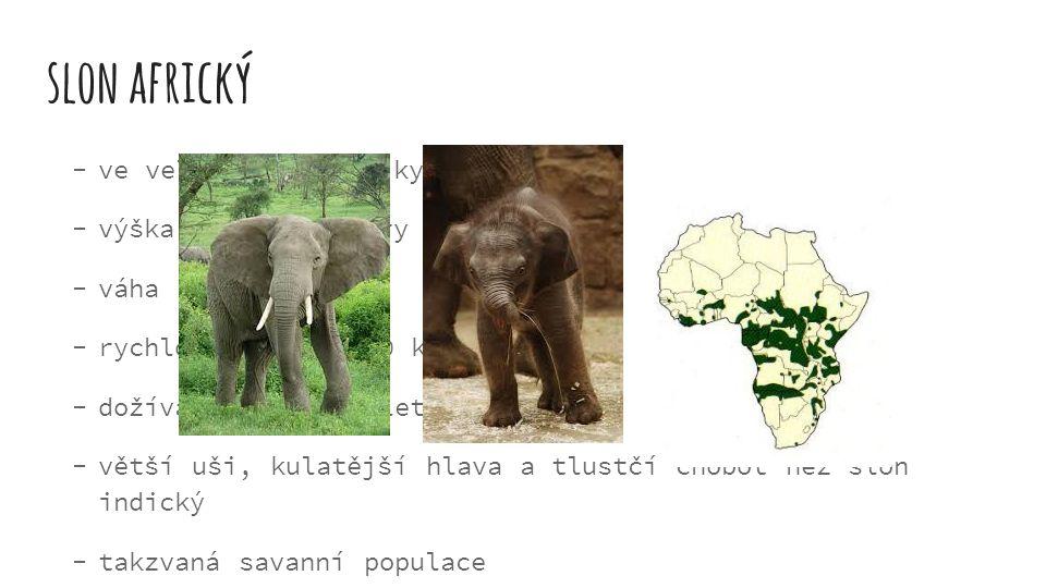 slon africký ve velké části Afriky výška až 3,5-4 metry