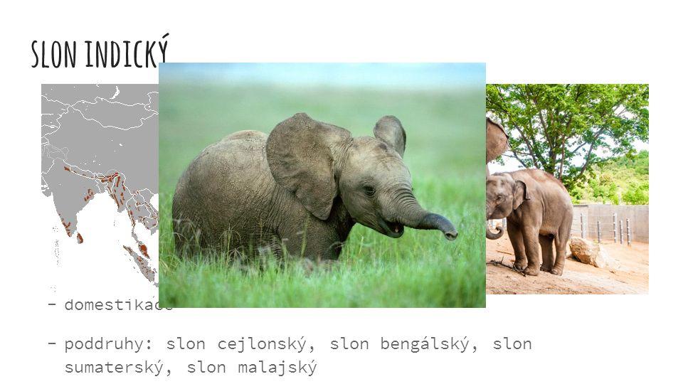 slon indický v jižní Asii, na Borneu a Sumatře výška až 3 metry