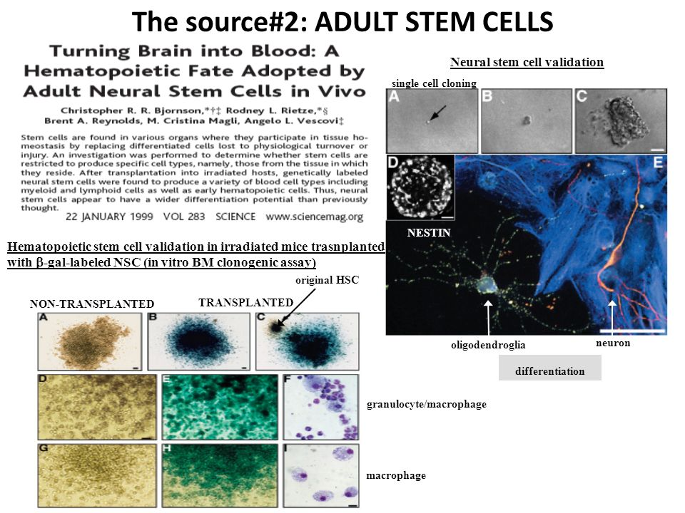 The source#2: ADULT STEM CELLS