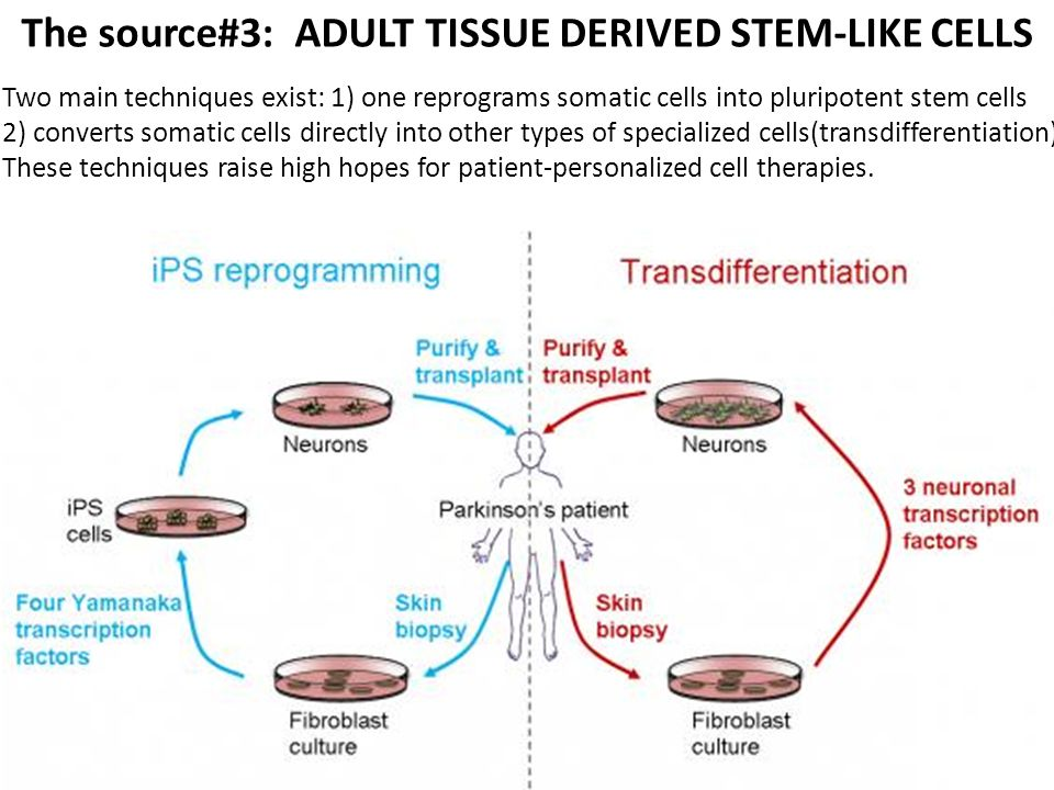 The source#3: ADULT TISSUE DERIVED STEM-LIKE CELLS