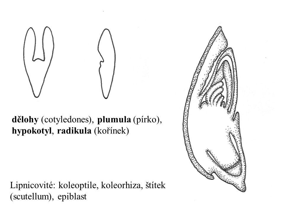 dělohy (cotyledones), plumula (pírko), hypokotyl, radikula (kořínek)