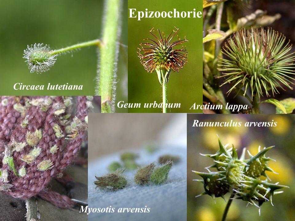 Epizoochorie Circaea lutetiana Geum urbanum Arctium lappa