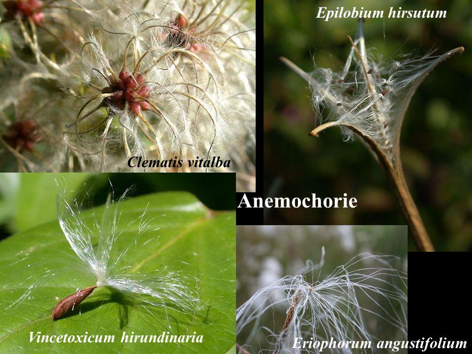 Anemochorie Epilobium hirsutum Clematis vitalba