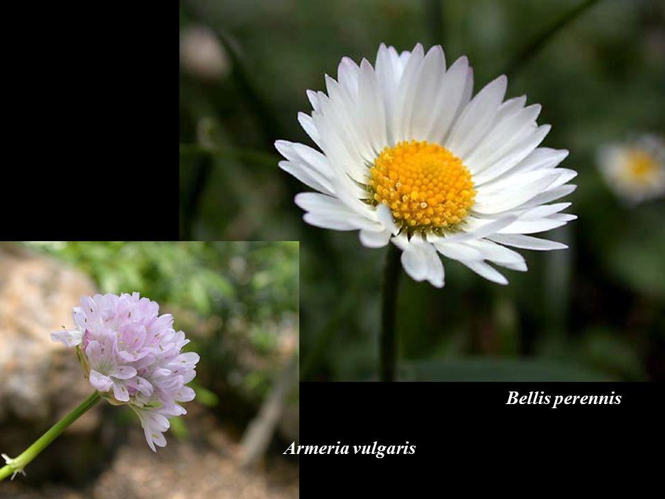 Bellis perennis Armeria vulgaris