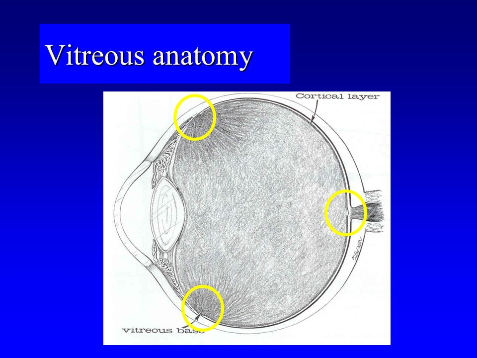Vitreous anatomy