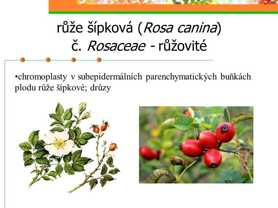 růže šípková (Rosa canina) č. Rosaceae - růžovité