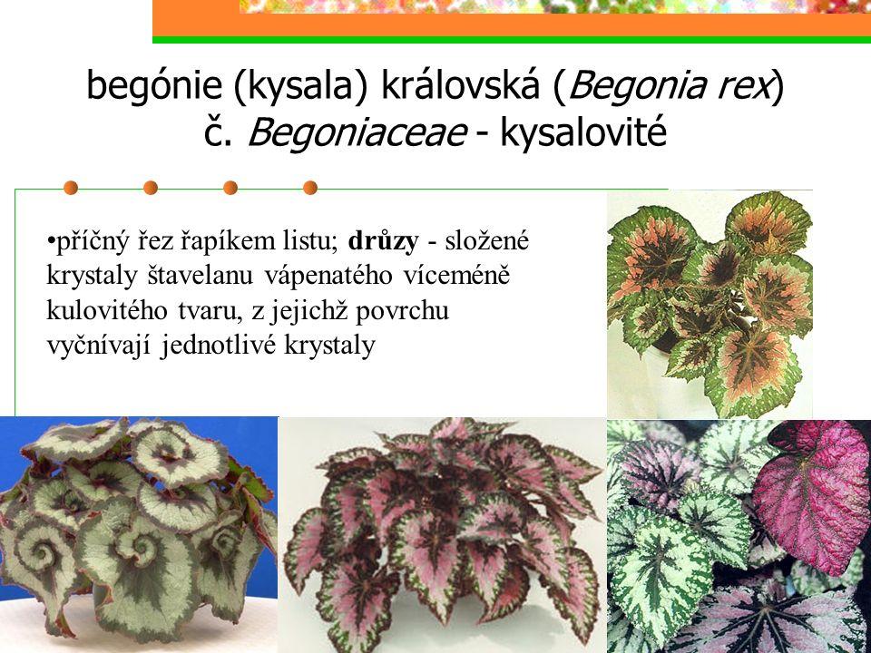 begónie (kysala) královská (Begonia rex) č. Begoniaceae - kysalovité
