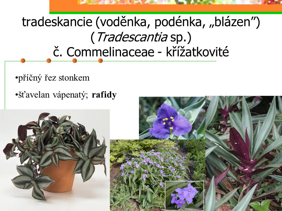 "tradeskancie (voděnka, podénka, ""blázen ) (Tradescantia sp. ) č"