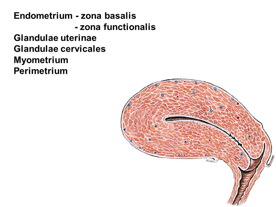 Endometrium - zona basalis