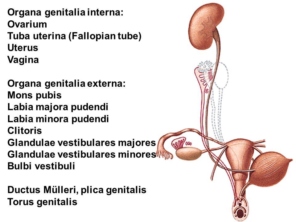 Organa genitalia interna: