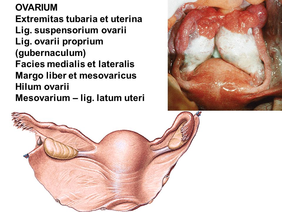 OVARIUM Extremitas tubaria et uterina. Lig. suspensorium ovarii. Lig. ovarii proprium. (gubernaculum)