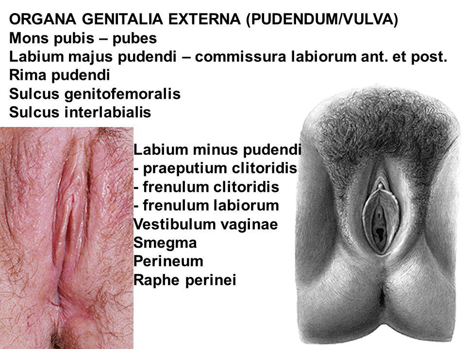ORGANA GENITALIA EXTERNA (PUDENDUM/VULVA)
