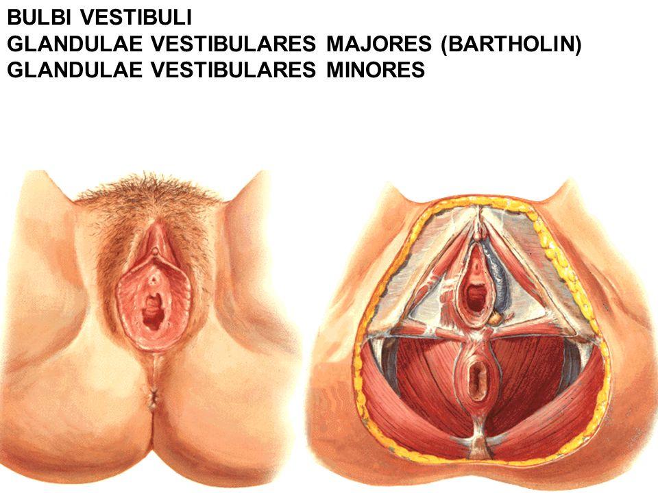 BULBI VESTIBULI GLANDULAE VESTIBULARES MAJORES (BARTHOLlN) GLANDULAE VESTIBULARES MINORES
