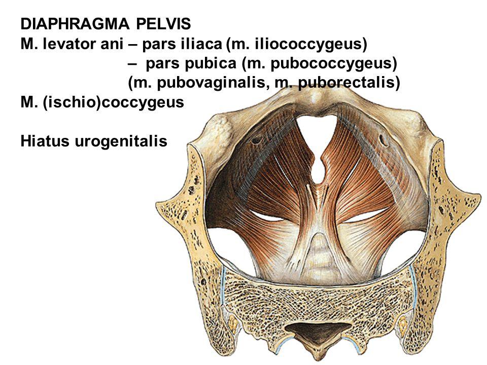 DIAPHRAGMA PELVIS M. levator ani – pars iliaca (m. iliococcygeus) – pars pubica (m. pubococcygeus)
