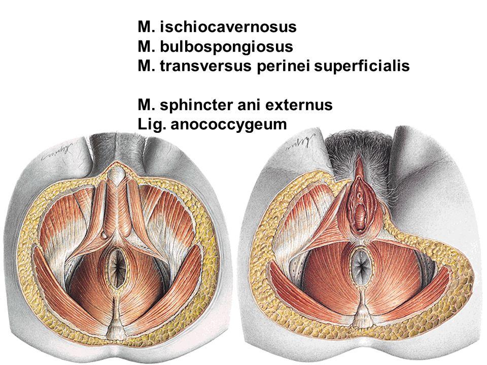M. ischiocavernosus M. bulbospongiosus. M. transversus perinei superficialis. M. sphincter ani externus.