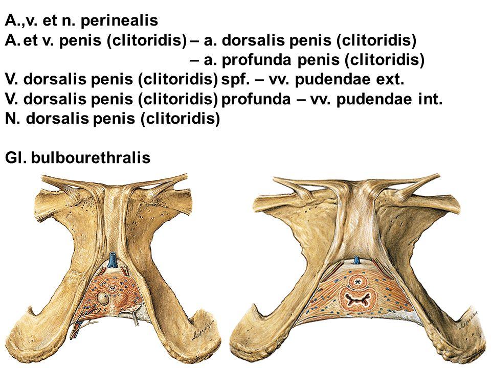 A.,v. et n. perinealis et v. penis (clitoridis) – a. dorsalis penis (clitoridis) – a. profunda penis (clitoridis)