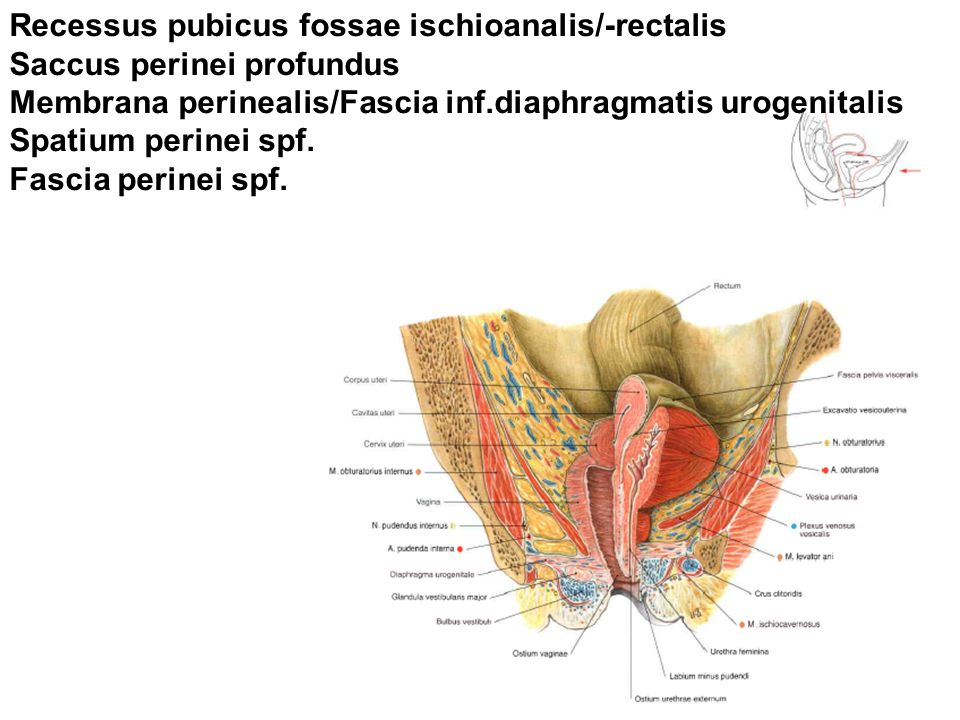 Recessus pubicus fossae ischioanalis/-rectalis
