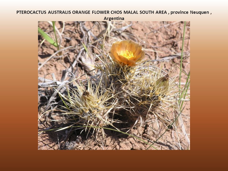 PTEROCACTUS AUSTRALIS ORANGE FLOWER CHOS MALAL SOUTH AREA , province Neuquen , Argentina