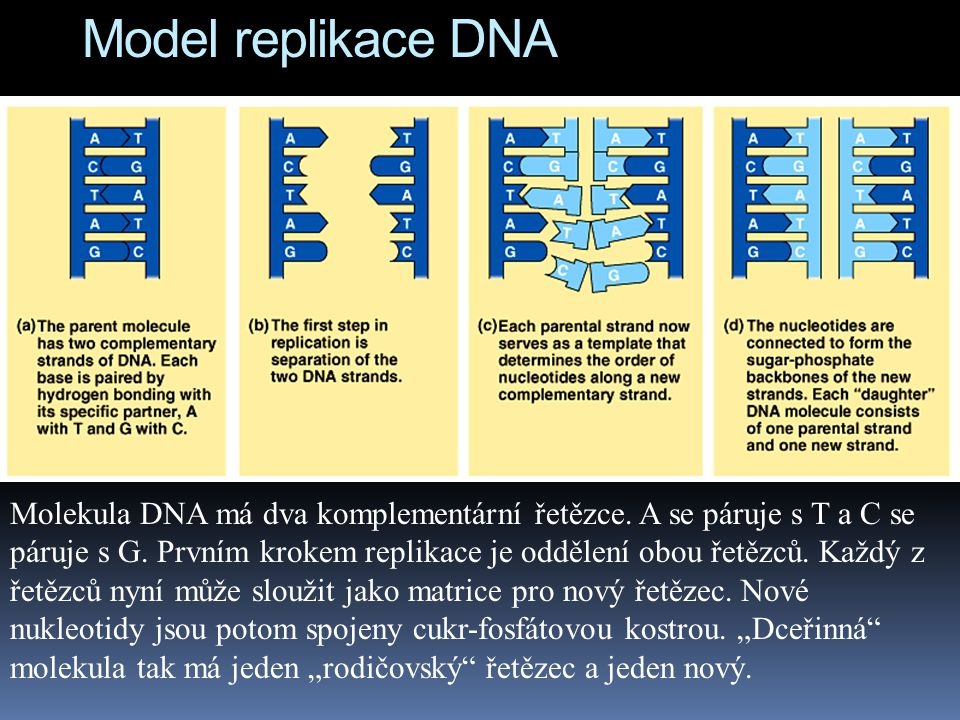 Model replikace DNA