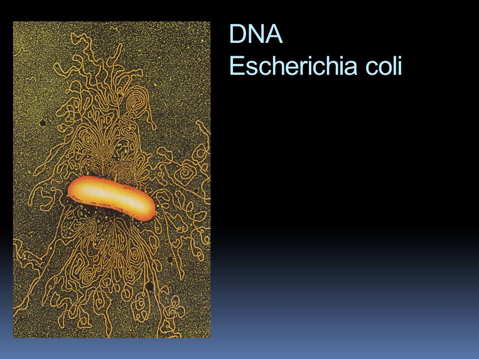 DNA Escherichia coli