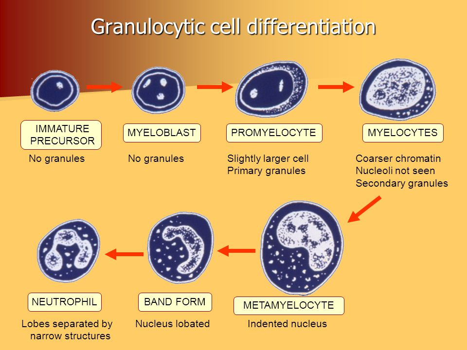 Granulocytic cell differentiation