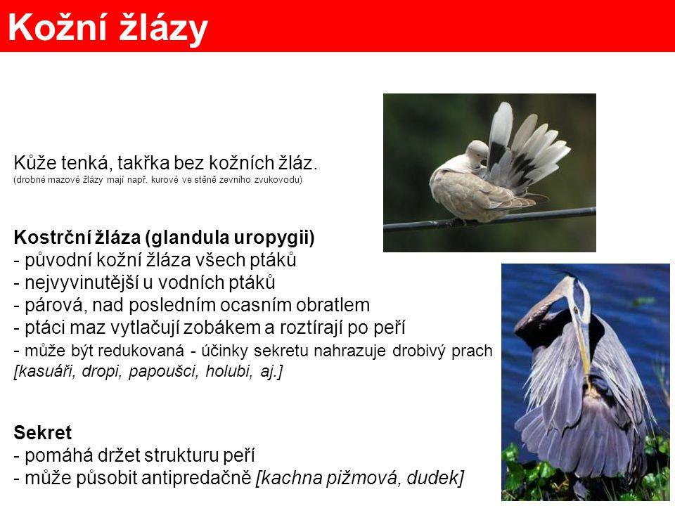 9 palcový pták obrázek