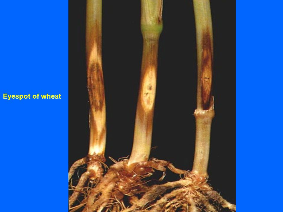 Eyespot of wheat