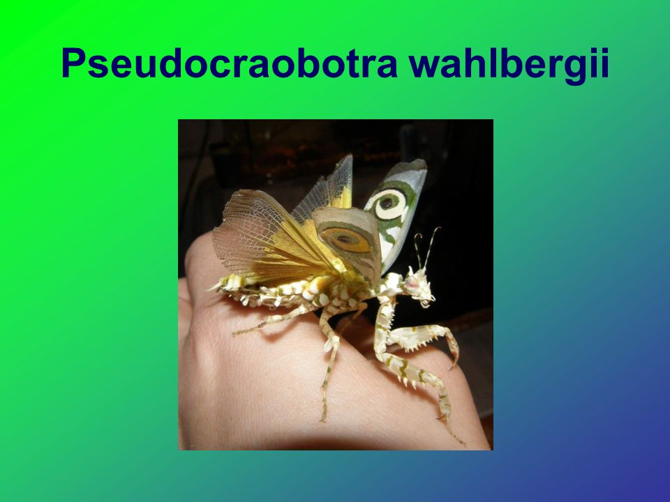 Pseudocraobotra wahlbergii