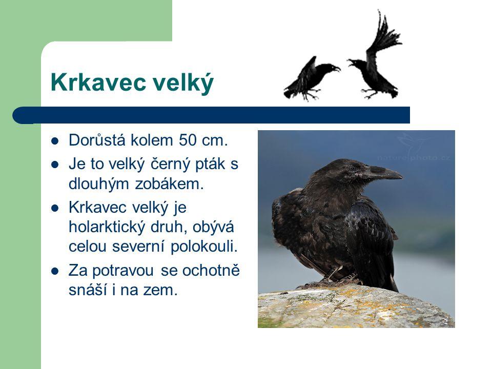 velký černý pták pict