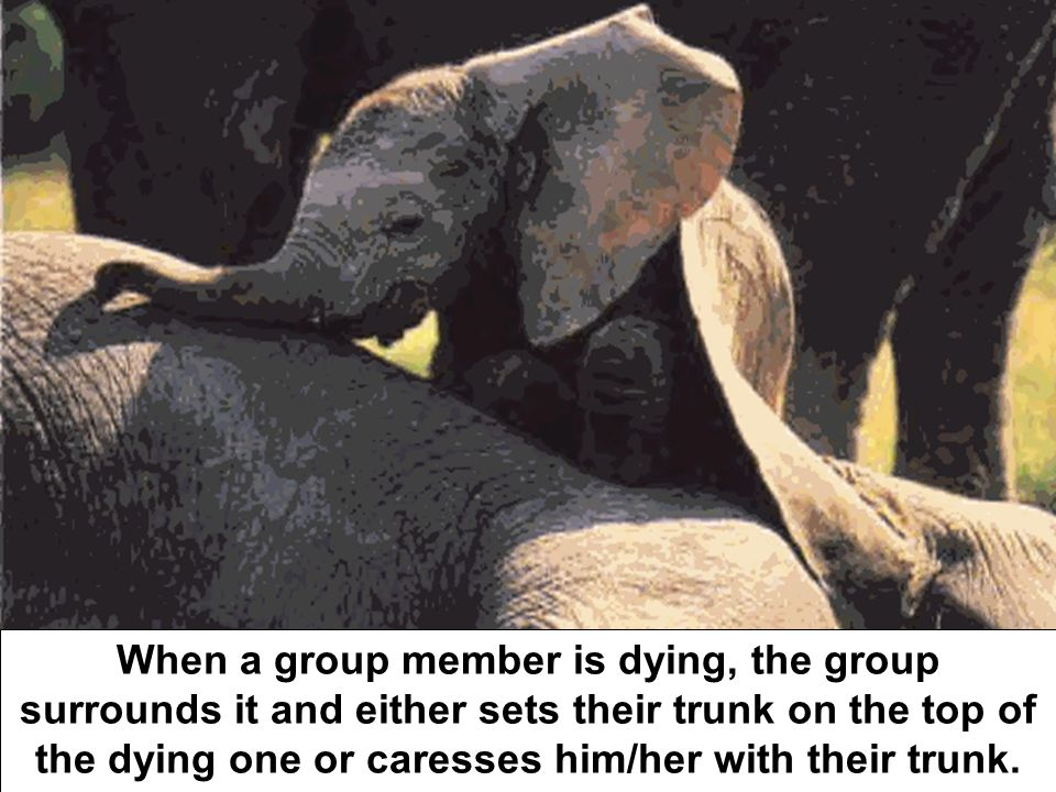 When a group member is dying, the group surrounds it and either sets their trunk on the top of the dying one or caresses him/her with their trunk.