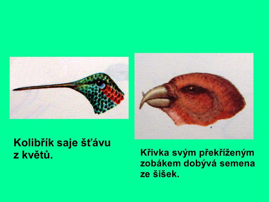 stránky sání ptáka