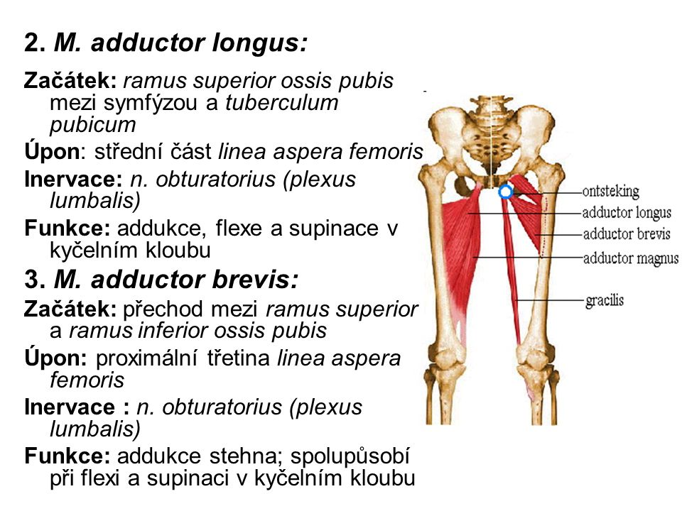 2. M. adductor longus: 3. M. adductor brevis:
